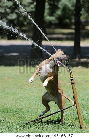 Dog In The Park Drinking Water