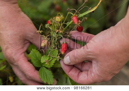 A man collects a strawberry. Gardening, harvesting.