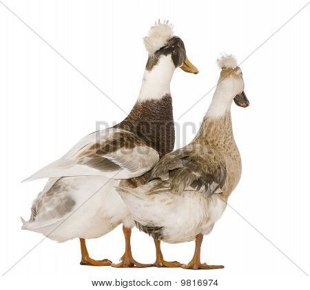 Two Canard Huppé Ou Pompon, 3 Years Old, Standing In Front Of White Background