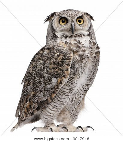 Virginia-Uhu, Bubo Virginianus Subarcticus, in front of white background