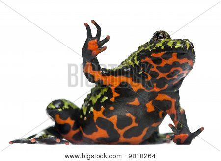 Oriental Fire-bellied Toad Waving, Bombina Orientalis, In Front Of White Background