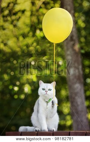 adorable british shorthair cat holding yellow balloon