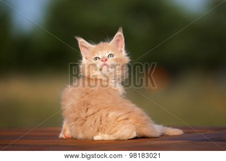 adorable maine coon kitten outdoors