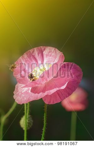 Bee On Poppies Rays Of The Sun