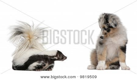 Blue Merle Australian Shepherd Puppy, 10 Weeks Old, Looking At Striped Skunk, Mephitis Mephitis, 5 Y