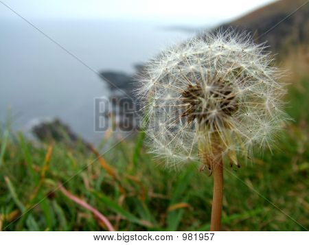 Dandelion Coast Time