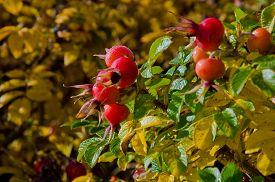 image of wild-brier  - Briar wild rose hip shrub in nature - JPG