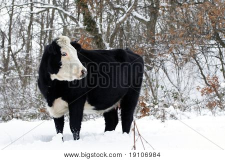 Cow on snowy field