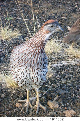 Hawaiin Alpine Desert Bird
