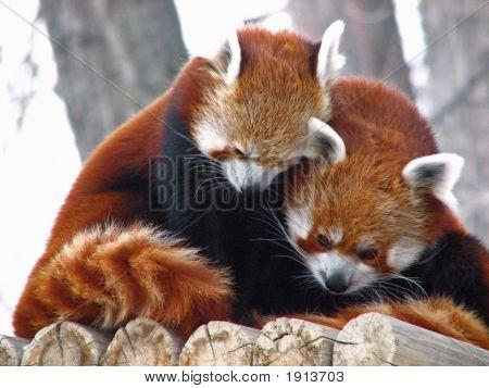 Red Pandas Cuddling