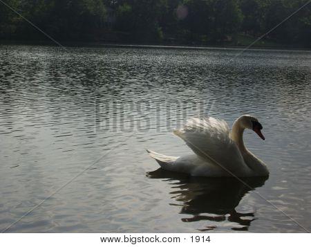 Swan 944