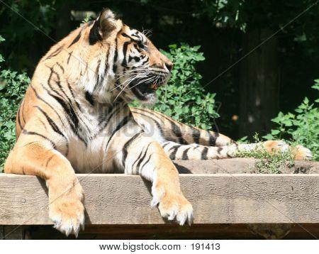 Tigre gruñe