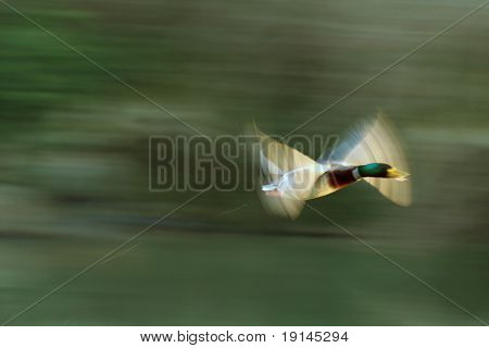 Duck In blured flight