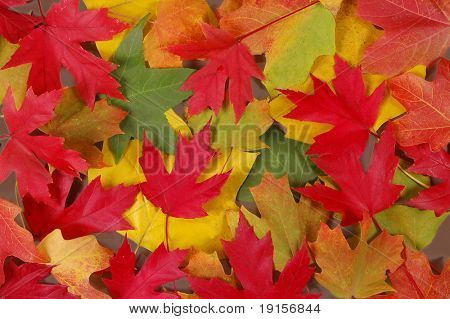 Colorful fall leaves of various trees