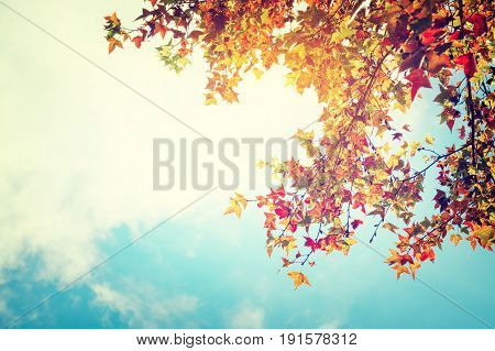 poster of Beautiful autumn leaves and sky background in fall season Colorful maple foliage tree in the autumn park Autumn trees Leaves in vintage color tone.