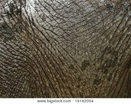 Close-up on dry elephant skin