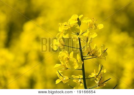 Oilseed Rape Blossoms