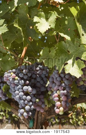 Ripening Cabernet Grapes On The Vine