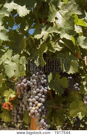 Grapes On The Vine Ripening