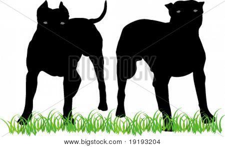 two pitbulls
