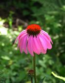 pic of goldenseal  - Single magenta Echinacea Purpurea or Purple Coneflower - JPG
