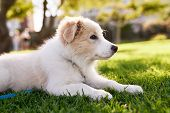 Cute fluffy border collie puppy in park, adorable dog pet purebred canine pedigree poster