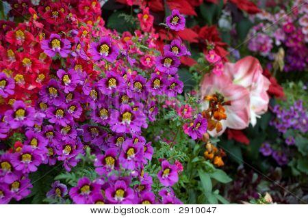 Dwarf Schizanthus Flowers