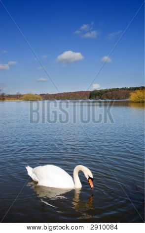 Swan On A Deep Blue Lake