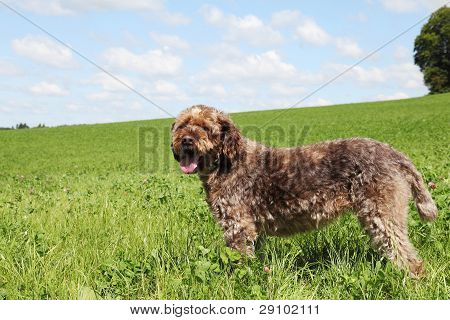 Korthals Or Wirehaired Pointing Griffon