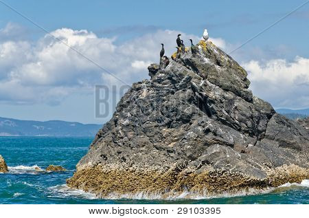 The one versus many concept. Rock with a few black and one white bird in pacific ocean west coast Vancouver, Canada.