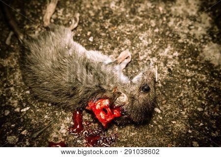 Close Up Of Dead Rat
