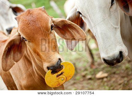 Zebu cows at a cattle farm or ranch