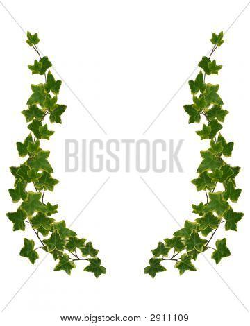 Ivy frontera elemento aislado