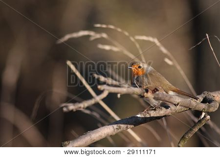 European Robin (Erithacus rubecula) perched on a branch