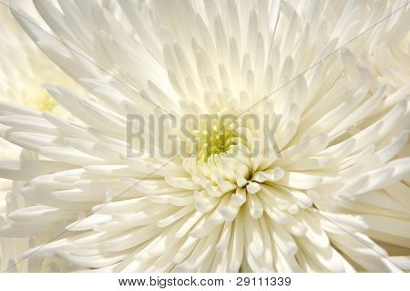 White chrysanthemum closeup of petals. Abstract nature detail background.