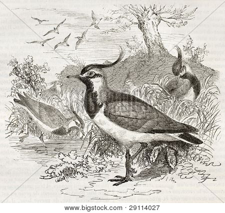 Northern Lapwing old illustration (Vanellus, vanellus). Created by Kretschmer and Illner, published on Merveilles de la Nature, Bailliere et fils, Paris, ca. 1878