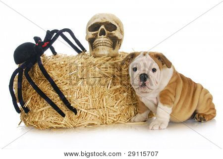 halloween puppy - english bulldog puppy sitting beside bale of straw with skull and spider