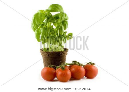 A Fresh Basil Plant And Some Nice Red Tomatos Isolated On White Background