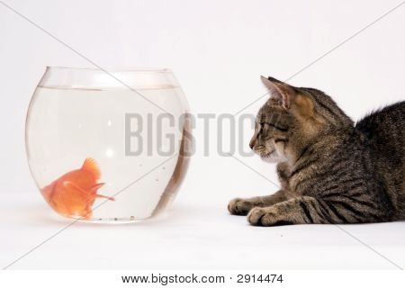 Cat And Goldfish
