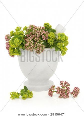 Valerian and ladies mantle herb flower sprigs in a marble mortar with pestle with scattered flowers isolated over white background. Valeriana and alchemilla.