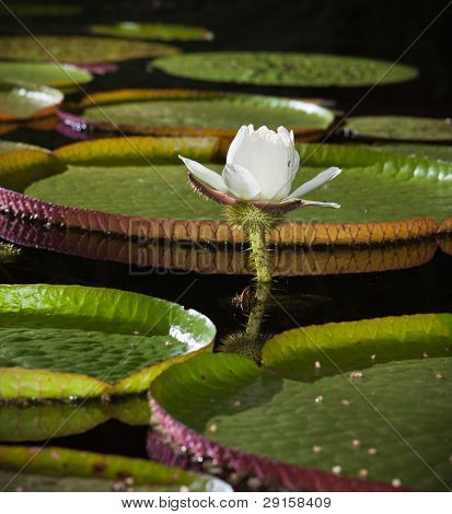 Close-up Of  Giant Water Lily