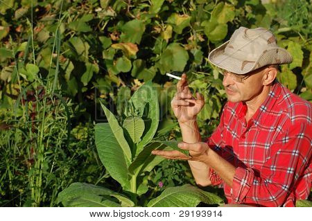 Ukrainian peasant and tobacco plant