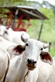 stock photo of zebu  - Zebu cow at a cattle farm or ranch - JPG