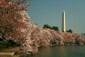 Washington Monument, Cherry Blossoms poster