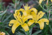 Yellow Lily Flower. Beautiful Lily Flower In Lily Flower Garden. Lily Lilium Hybrids Flower. Lily Fl poster