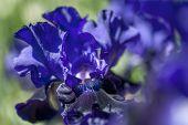 Bitone Purple Blue Tall Bearded Iris Oklahoma Crude Macro poster