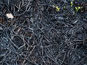 Scorched Land After A Fire With Fiers Green Sprouts. Close Up View Background poster