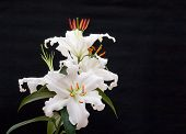 stock photo of asiatic lily  - a beautiful white lily blooming with a black background - JPG