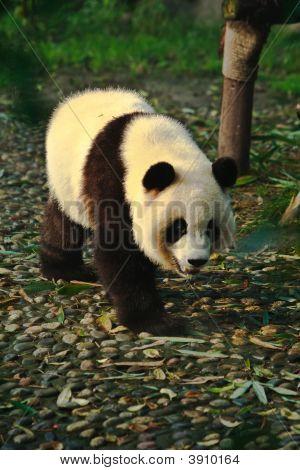 Panda andando