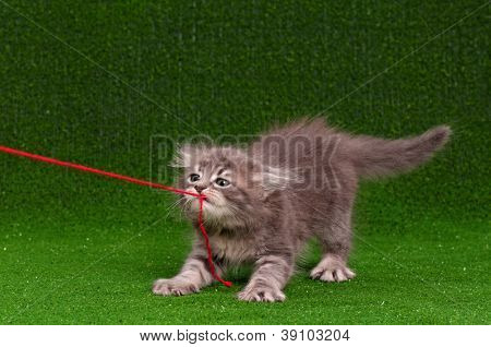Cute gray kitten playing red thread on artificial green grass